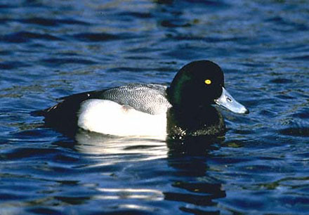 Greater Scaup - Aythya marila
