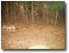 Beaufort County NC Small Game Hunting - Fox at Huckleberry Ridge Hunting Preserve